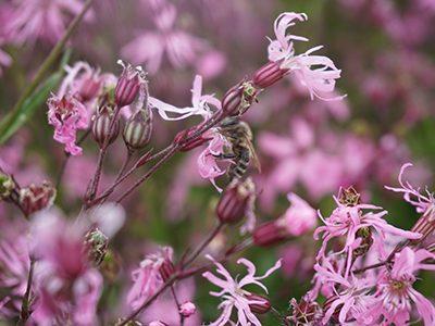Blume-Biene2-Ritter-Saatgut