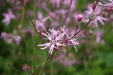 Blume1-Ritter-Saatgut