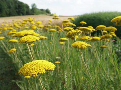 Blumenland2-Ritter-Saatgut