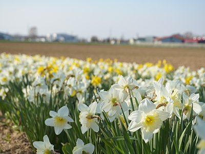 Blumenland8-Narzissen-Ritter-Saatgut