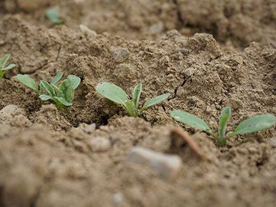 Regiosaatgut-Jungpflanze-Ritter-Saatgut