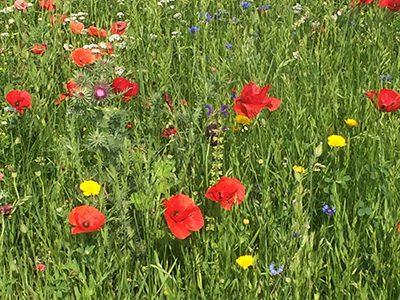 Wildblumensamen-Ritter-Saatgut