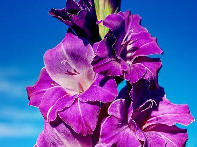 gladiolus-3775616_1920